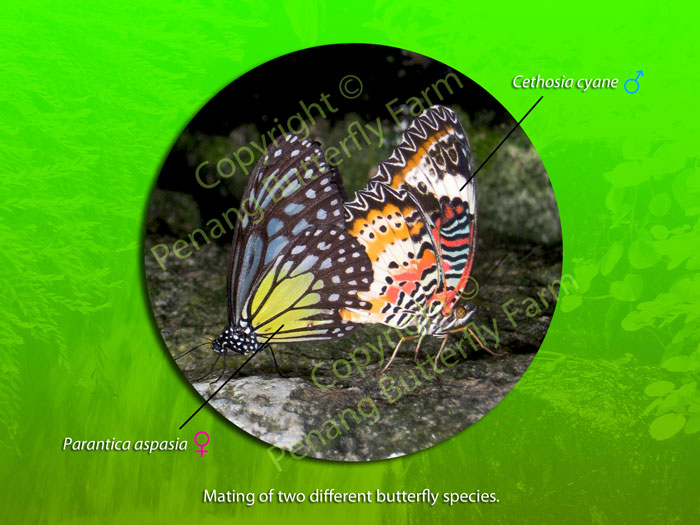 Can two butterfly species mate with each other?