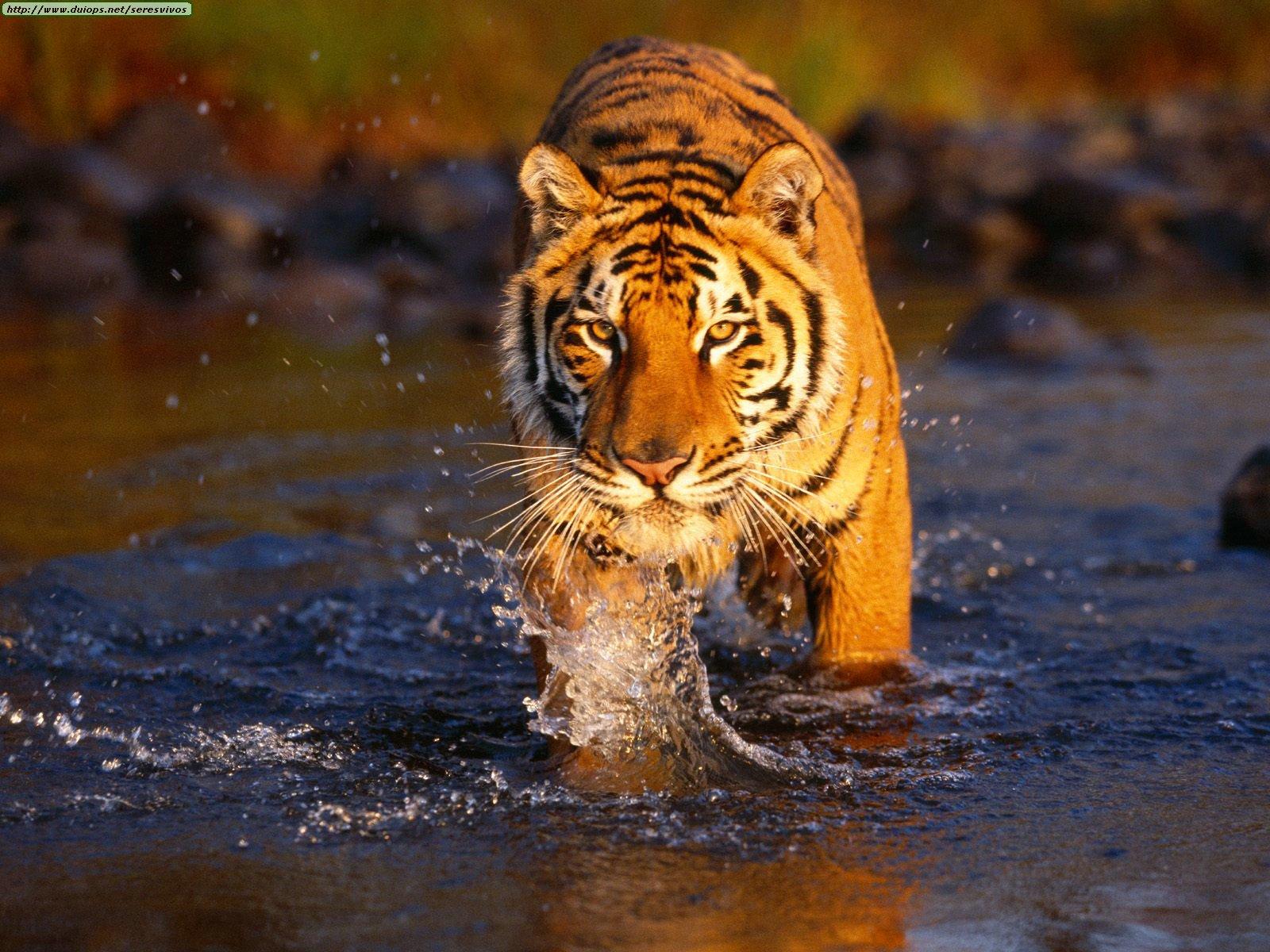 [Image: bengal_tiger-8893.jpg]