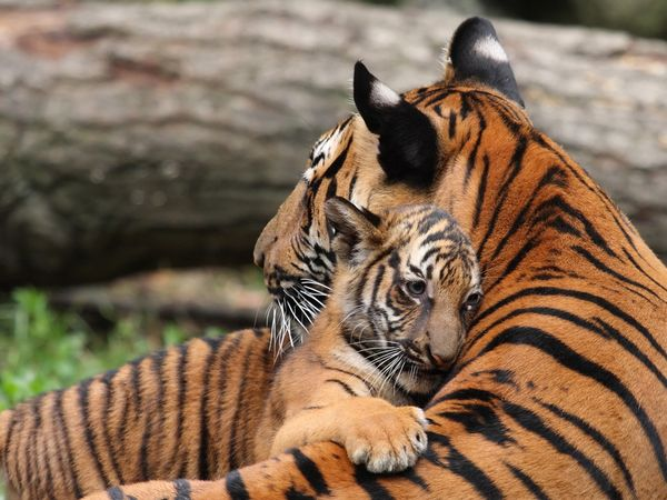 Mother tigers are very protective over their cubs